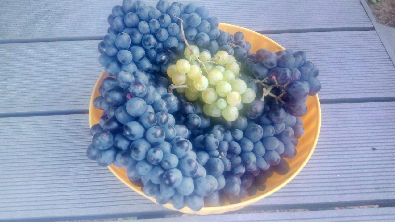 A szőlő védelme darazsak ellen